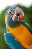 Papagaio amarelo e verde fotografia de stock royalty free