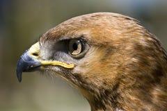 papagaio Amarelo-faturado Fotografia de Stock