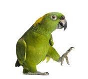 Papagaio amarelo-naped (6 anos velho), isolado Fotos de Stock
