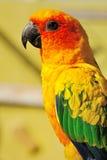 Papagaio amarelo tropical com asas verdes, Fotografia de Stock Royalty Free