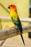 Papagaio amarelo tropical com asas verdes, Imagem de Stock