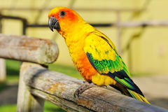 Papagaio amarelo tropical com asas verdes, Fotos de Stock