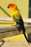Papagaio amarelo tropical com asas verdes, Foto de Stock
