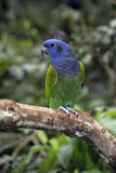 papagaio Azul-dirigido, menstruus de Pionus Fotografia de Stock Royalty Free