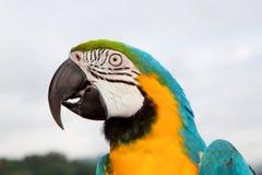 Papagaio azul e amarelo Foto de Stock Royalty Free