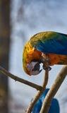 Papagaio azul e amarelo da arara que senta-se em um brance Fotos de Stock