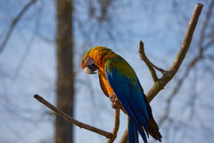 Papagaio azul e amarelo da arara que senta-se em um ramo Fotografia de Stock Royalty Free