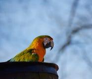 Papagaio azul e amarelo do Macaw Foto de Stock
