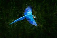 Papagaio azul grande na mosca Ararauna na obscuridade - habitat verde das aros da floresta Papagaio bonito da arara de Pantanal,  imagem de stock royalty free