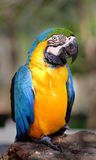 Papagaio bonito da arara Imagem de Stock