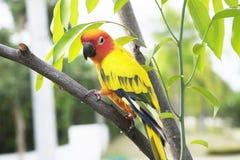 Papagaio bonito de Sun Conure no ramo Imagem de Stock
