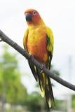 Papagaio bonito de Sun Conure no ramo Imagens de Stock