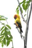 Papagaio bonito de Sun Conure no ramo Imagens de Stock Royalty Free