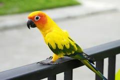 Papagaio bonito de Sun Conure no ramo Fotos de Stock Royalty Free