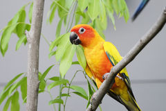 Papagaio bonito de Sun Conure no ramo Foto de Stock
