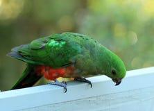 Papagaio bonito do rei imagens de stock