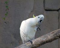 Papagaio branco Imagens de Stock Royalty Free