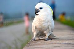 Papagaio branco Fotos de Stock Royalty Free