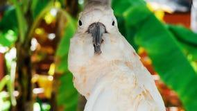 Papagaio branco, aros brancas bonitas 2018 do papagaio de //do pássaro da cacatua fotografia de stock
