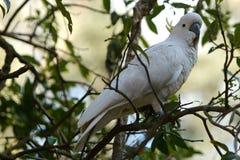 Papagaio branco em uma filial Foto de Stock Royalty Free
