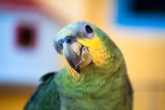 Papagaio brasileiro verde Fotos de Stock Royalty Free