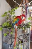 Papagaio brincalhão Fotografia de Stock