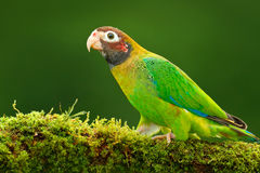 papagaio Brown-encapuçado, haematotis de Pionopsitta, luz do retrato - papagaio verde com cabeça marrom Pássaro do retrato do clo Imagens de Stock Royalty Free