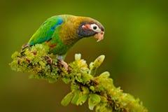 papagaio Brown-encapuçado, haematotis de Pionopsitta, luz do retrato - papagaio verde com cabeça marrom Pássaro do retrato do clo Imagens de Stock