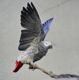 Papagaio cinzento Foto de Stock Royalty Free