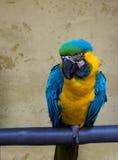 Papagaio colorido Fotografia de Stock