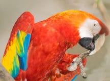 Papagaio colorido Fotos de Stock