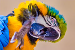 Papagaio colorido Foto de Stock
