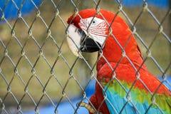 Papagaio colorido Foto de Stock Royalty Free