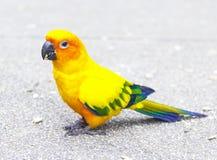 Papagaio colorido bonito, Sun Conure no assoalho Fotos de Stock