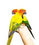 Papagaio colorido bonito, Sun Conure (solstitialis) de Aratinga, g Fotografia de Stock Royalty Free