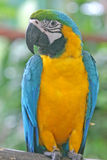 Papagaio colorido do Macaw Imagem de Stock Royalty Free
