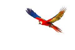 Papagaio colorido do voo fotos de stock
