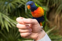 Papagaio colorido em uma mão Fotografia de Stock Royalty Free