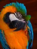 Papagaio colorido grande Imagem de Stock
