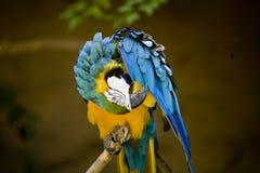 Papagaio colorido que Preening Fotografia de Stock Royalty Free