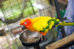 Papagaio com fome Imagem de Stock