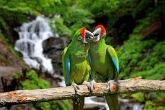 Papagaio contra o fundo tropical da cachoeira Fotografia de Stock Royalty Free