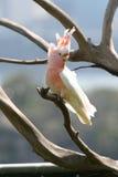 Papagaio cor-de-rosa com crista Fotografia de Stock Royalty Free