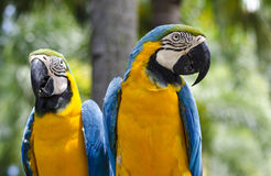 Papagaio da arara Fotos de Stock Royalty Free