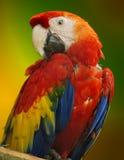Papagaio da arara Imagens de Stock Royalty Free