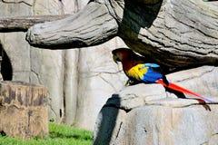 Papagaio da arara Foto de Stock