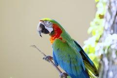 Papagaio da arara Imagens de Stock