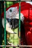 Papagaio da arara em uma gaiola fotos de stock royalty free