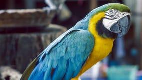Papagaio da arara Papagaio amarelo azul da arara Papagaio dourado azul da arara Ara Ararauna Neotropical repete mecanicamente ara filme