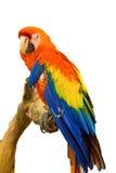 Papagaio da arara que guarda o ramo foto de stock royalty free